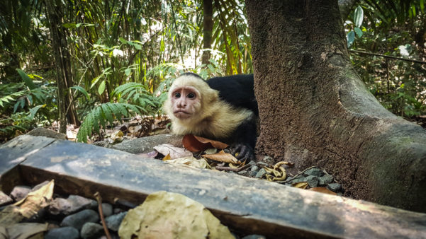 Panamanian white-faced capuchin, Costa Rica, Manzanillo