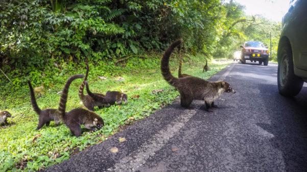 Coatimundi, frațiorii ratonilor (Costa Rica)